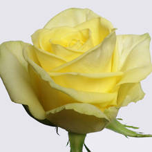 Fresh Moments! Rose Plant