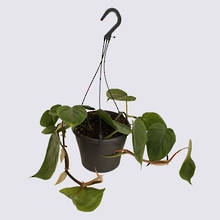 Heartleaf Philodendron (Philodendron scanden) 17cm hanging Pot Plant