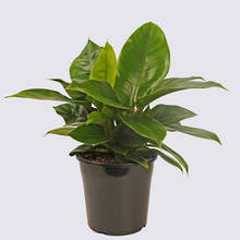 Philodendron Imperial Green 20cm Pot Plant