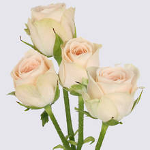 Jana Spray Rose Plant