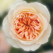 Juliet David Austin Rose