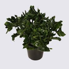 Philodendron Atom (Philodendron selloum) 20cm Pot Plant