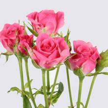 Leanne Spray Rose