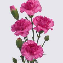 Lilac Melissa Carnation Plant
