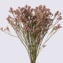 Lilac Safora Limonium