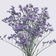 California Blue Limonium