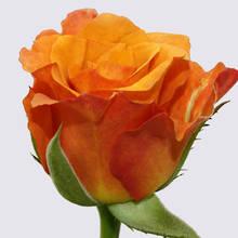 Milva Rose Plant
