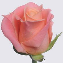 Miss Piggy+ Rose Plant