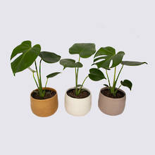 Monstera Deliciosa and Ceramic Pots - Nine Plant Package