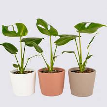 Monstera Deliciosa Combo & Ceramics - Nine Plant Package 1