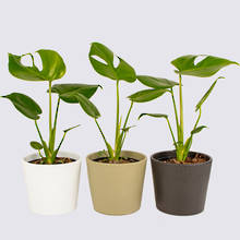 Monstera Deliciosa Combo & Ceramics - Nine Plant Package 2