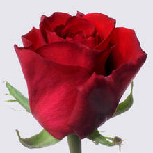 Myrna+ Rose Plants