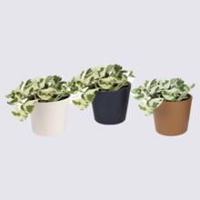 N'Joy Pothos and Millie Ceramic Nine Plant Package