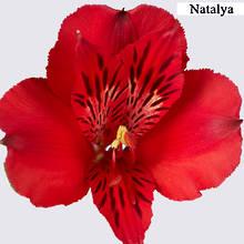 Red Alstroemeria