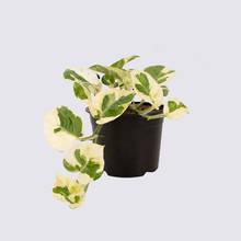 N'Joy Pothos (Epipremnum aureum) 14cm Pot Plant