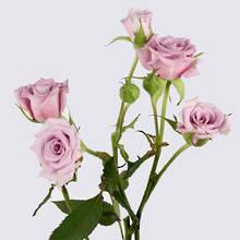 Ocean Mikado Rose Plant