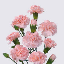 Padua Carnation Plant