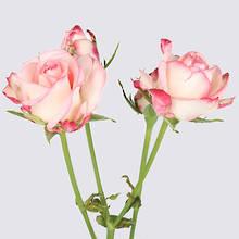 Paloma Spray Rose