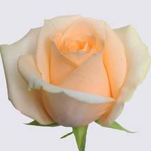 Peach Avalanche+ Rose Plant