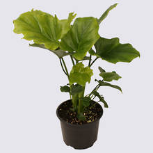 Philodendron Hope (Philodendron selloum) 14cm Pot Plant