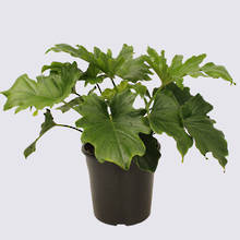 Philodendron Hope 20cm Pot Plant