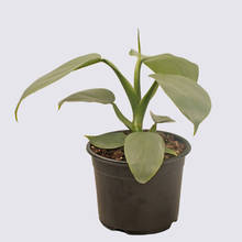 Philodendron Grey (Philodendron Hastatum) 14cm Pot Plant