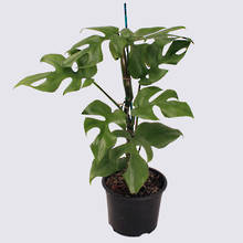 Philodendron Minima (Rhapidophora tetrasperma) 14cm Pot Plant