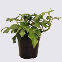Philodendron Minima (Rhapidophora tetrasperma) 20cm Pot Plant