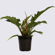 Philodendron Narrow 20cm Pot Plant