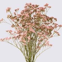 Pink Oshi Safora Limonium