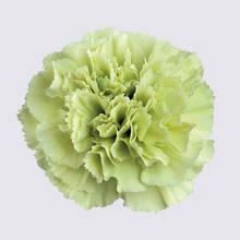 Prado Mint Carnation Plant