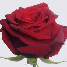 Red Naomi!  Rose Plant