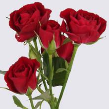 Rubicon Spray Rose