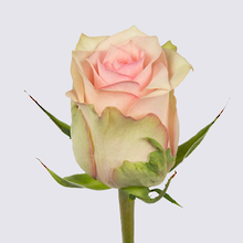 Soduku Rose Plant