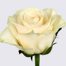 Solsy Rose Plant