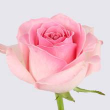 Sorbet Avalanche+ Rose Plant