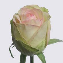St Patrick! Rose Plant