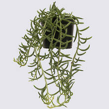 String of Fish Hooks (Senecio Radicans) 14cm Pot Plant