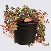 Sweet Bubbles (Callisia repens variegata) 14cm Pot Plant