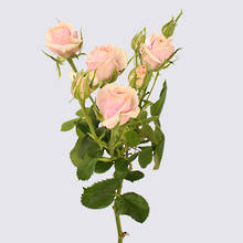 Sweet Porcelina Spray Rose