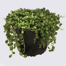 Variegated String of Pearls (Senecio rowleyanus varigata) 14cm Pot Plant