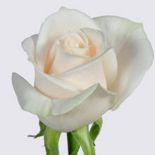 Vendela Rose Plant