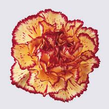 Viana Carnation Plant