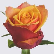 Whiskey Rose Plant