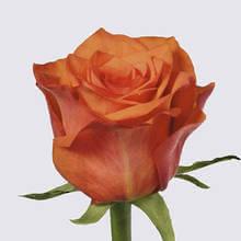 Wild Card! Rose Plant