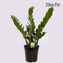 Zanzibar Gem 20cm Pot Plant