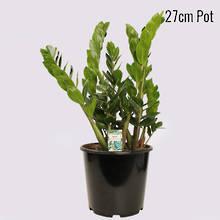 Zanzibar Gem 27cm Pot Plant