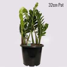 Zanzibar Gem 32cm Pot Plant