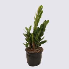 Zanzibar Gem 14cm Pot Plant