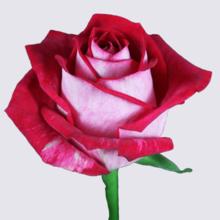 All Star Rose Plant